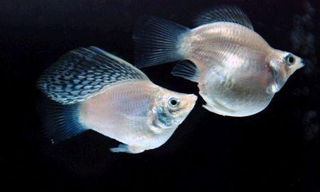 因为鱼应该等待更长时间才能交配进行内部受精然后变成胎生