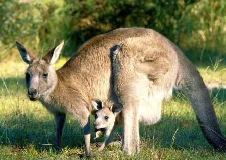 我们可以为濒临灭绝的有袋动物进行怀孕测试吗