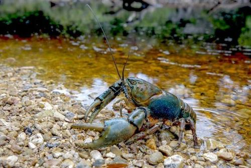 淡水甲壳类是森林栖息地食物的重要组成部分