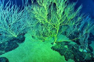 一种生长在世界纪录深度的珊瑚的发现为海洋变暖所破坏的珊瑚礁带来了希望