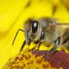 蜜蜂的动作可用于生成能够飞行和游泳的机器人