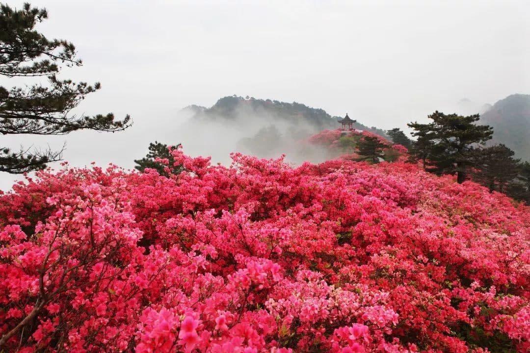 映山红和杜鹃花的区别是什么?